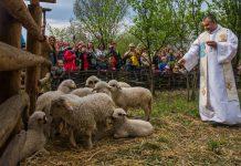 Nowe owce zawitały do Bacówki na Pieczyskach.