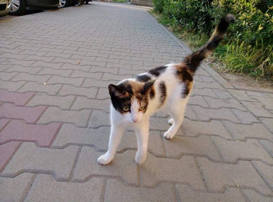 Niesamowite Zaginęła kotka | Jaworznicki Portal Społecznościowy - jaw.pl US86