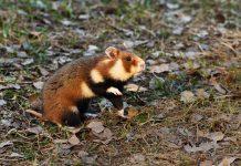 Napoczątku lipca jaworznicką populację chomika europejskiego zasiliło kilka osobników, które przyjechały donas zCzech.